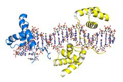 Transcription factors bound to DNA Stock Images