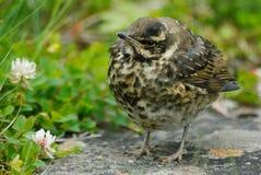 Transeúnte spp del pájaro joven. en parque de naturaleza de Skaftafell, Islandia fotos de archivo