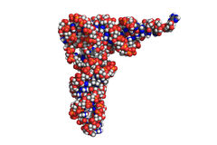 Transfer RNA, space-filling model Royalty Free Stock Photo