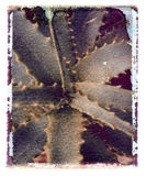 Transferencia polaroid del cacto Foto de archivo