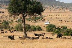 Transfert d'animal de Maasai Mara du Kenya images stock