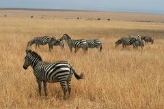 Transfert d'animal de Maasai Mara du Kenya photos libres de droits