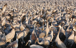Transfert d'oiseaux Image libre de droits