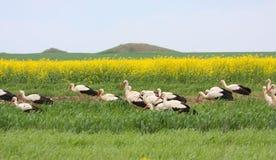 Transfert de cigognes blanches images stock