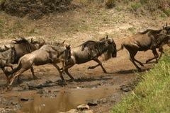 Transfert de Wildebeest photographie stock