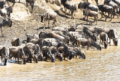 Transfert de Wildebeest au Kenya photo libre de droits