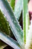 Transfert polaroïd de cactus Photographie stock libre de droits
