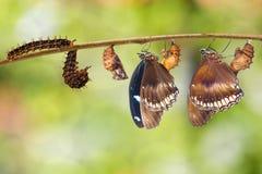 Transformação da lagarta ao grande eggfly hipo da borboleta Imagens de Stock