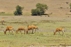 Transforma Hartebeest imagem de stock royalty free