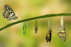 Transformación de la mariposa de la cal Foto de archivo