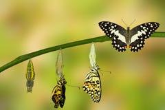 Transformación de la mariposa de la cal Foto de archivo libre de regalías