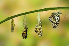 Transformación de la mariposa de la cal Fotografía de archivo
