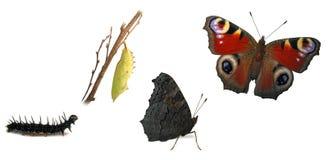 Transformaciones de la mariposa del pavo real Foto de archivo