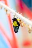 Transformacja chryzalida Motyli Troides Rhadamantus Obraz Stock