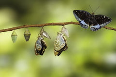 Transformacja Męski Pospolity Archduke motyl wyłania się od c zdjęcie royalty free
