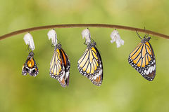 Transformacja pospolity tygrysi motyl wyłania się od kokonu obraz stock