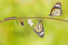 Transformacja pospolity tygrysi motyl wyłania się od kokonu zdjęcia royalty free