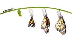 Transformacja pospolity tygrysi motyl wyłania się od kokonu dalej zdjęcia stock