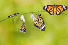 Transformatie die van gemeenschappelijke tijgervlinder uit cocon te voorschijn komen stock fotografie