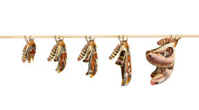 Transformation of attacus atlas moth on white Stock Photography