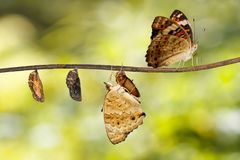 Transformation of blue pansy butterfly  Junonia orithya Linnaeu Royalty Free Stock Images