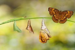 Transformation from caterpillar and chrysalis of brown prince bu. Transformation from caterpillar and chrysalis of female siamese black prince butterfly hanging royalty free stock photography