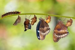 Transformation from caterpillar to great eggfly butterfly Hypo. Limnas bolina Linnaeus hanging on twig stock image