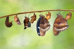Transformation from caterpillar to great eggfly butterfly  Hypo Stock Images