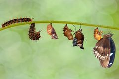 Transformation from caterpillar to great eggfly butterfly & x28; Hypo. Limnas bolina Linnaeus & x29; hanging on twig royalty free stock photography
