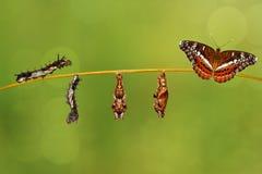 Transformation caterpillar to pupa of commander butterfly restin. Transformation caterpillar to pupa of commander butterfly & x28; Moduza procris & x29; resting Royalty Free Stock Photos