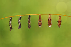 Transformation caterpillar to pupa of commander butterfly resting on twig. Transformation caterpillar to pupa of commander butterfly & x28; Moduza procris & x29 royalty free stock photos