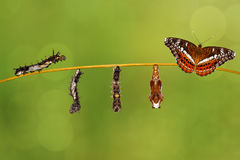 Transformation caterpillar to pupa of commander butterfly resting on twig