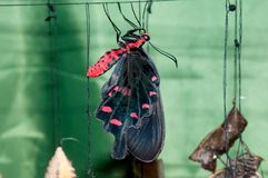 Transformation of the chrysalis to Butterfly sailboat. Butterfly Sailboats or Papilionidae or swallowtail family Lepidoptera stock photos