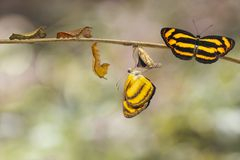 Transformation of common lascar butterfly Pantoporia hordonia. From caterpillar and chrysalis on twig royalty free stock image