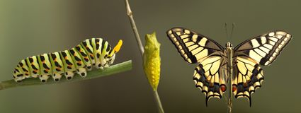 Transformation of common machaon butterfly emerging from cocoon
