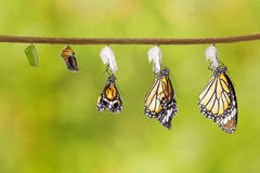 Transformation of common tiger butterfly emerging from cocoon Royalty Free Stock Images
