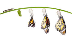 Transformation of common tiger butterfly emerging from cocoon on Stock Photos