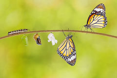 Transformation of common tiger butterfly emerging from cocoon. On twig Royalty Free Stock Photos