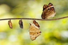 Transformation d'orithya bleu Linnaeu de Junonia de papillon de pensée Images libres de droits