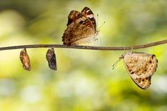 Transformation d'orithya bleu Linnaeu de Junonia de papillon de pensée Image libre de droits