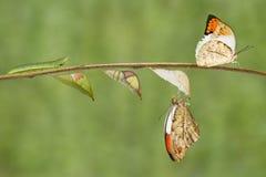 Transformation de grand carda orange d'Anthocharis de papillon d'astuce Photographie stock libre de droits