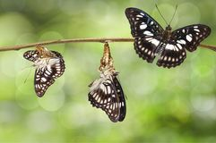 Transformation de papillon Noir-veiné de sergent et de x28 ; Ranga d'Athyma Photos stock