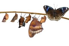 Transformation of female from caterpillar to great eggf. Ly butterfly & x28; Hypolimnas bolina Linnaeus & x29; hanging on twig with clipping path stock image