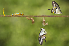 Transformation life cycle of banded swallowtail butterfly Papil. Io demolion from egg , caterpillar , pupa to adult with clipping path stock image