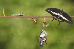 Transformation life cycle of banded swallowtail butterfly Papil. Io demolion from egg , caterpillar , pupa to adult with clipping path stock photos