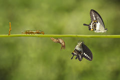 Transformation life cycle of banded swallowtail butterfly Papil Stock Images