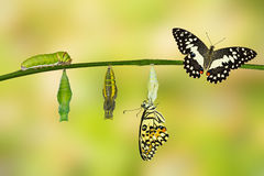 Transformation of Lime Butterfly Royalty Free Stock Images