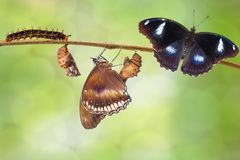 Transformation of male from caterpillar to great eggfly butterfl Royalty Free Stock Image
