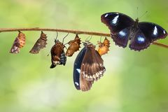 Transformation of male from caterpillar to great eggfly butterfly ( Hypolimnas bolina Linnaeus ) on twig. Transformation of male from caterpillar to great eggfly royalty free stock photography