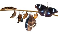 transformation of male from caterpillar to great eggfly. Butterfly & x28; Hypolimnas bolina Linnaeus & x29; hanging on twig with clipping path Royalty Free Stock Images